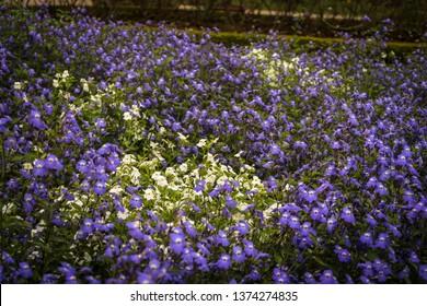 White in Blue Trailing Lobelia Sapphire flower field, Lobelia Erinus Sapphire or Edging Lobelia