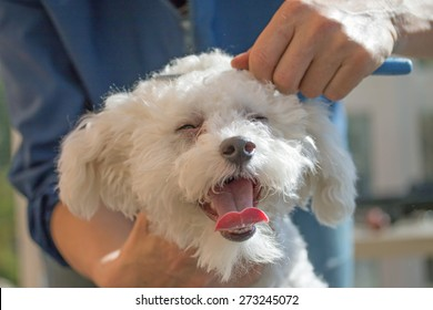 The white Bolognese dog is combing by female groomer. The dog's eyes are closed