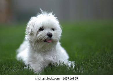 White Bolognese dog portrait on green grass
