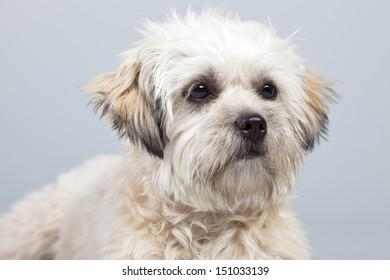 White boomer dog isolated against grey background. Studio portrait.