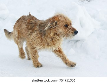 white bosnian coarse-haired hound on the snow