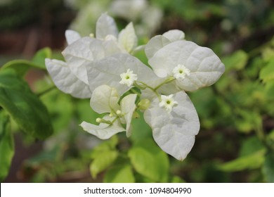 White Bougainvillea Flower