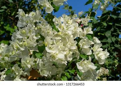 White bougainvillea In the garden