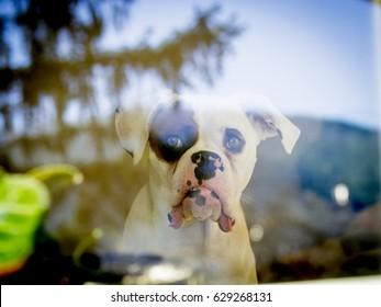 White boxer dog looking through the window.