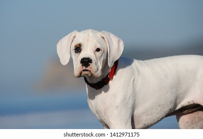 White Boxer puppy dog outdoor portrait against blue sky and ocean