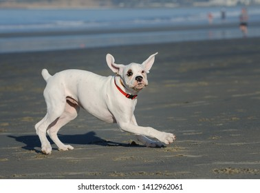 White Boxer puppy dog playing on the beach
