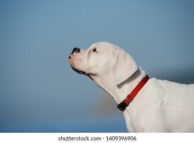 White Boxer puppy dog portrait against blue sky
