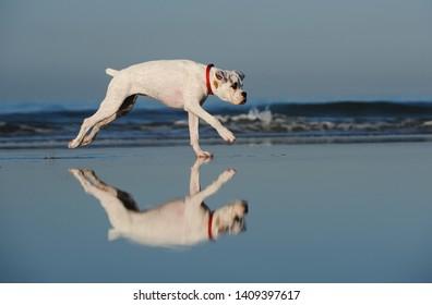 White Boxer puppy dog running on set sand beach