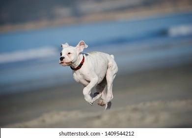 White Boxer puppy dog running on beach