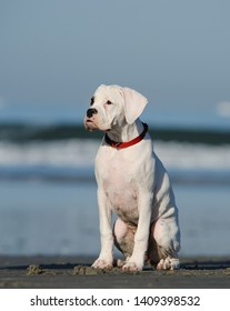 White Boxer puppy dog sitting by ocean beach