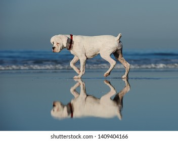 White Boxer puppy dog walking on wet sand beach with reflection