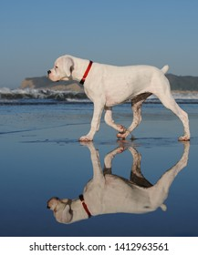 White Boxer puppy dog walking on wet sand beach with reflections with Point Loma in the background
