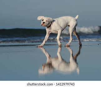 White Boxer puppy dog walking on beach with waves in the background