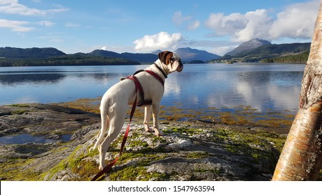 White boxerdog hiking at the lake