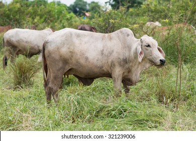 white brahman cattle