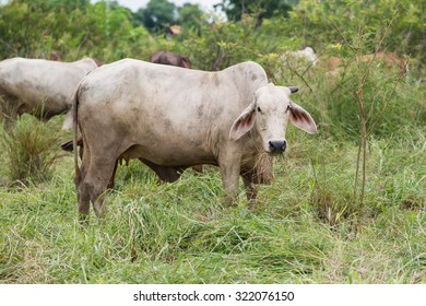 white brahman cattle in field