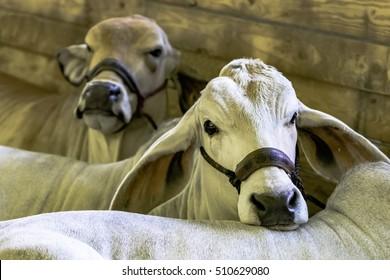 White Brahman cows lying down at a livestock show