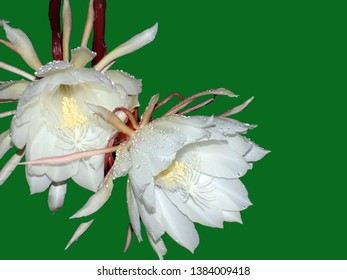 A white bramha kamal flower blooms at night