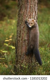 White breasted marten in the forest - Martes foina