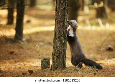 White breasted marten sniff the tree - Martes foina