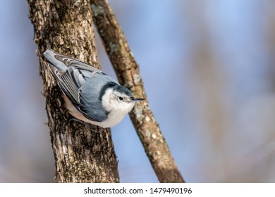 White Breasted Nuthatch climbing down a tree in the winter.