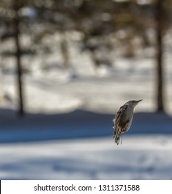White Breasted Nuthatch Flying In To Land