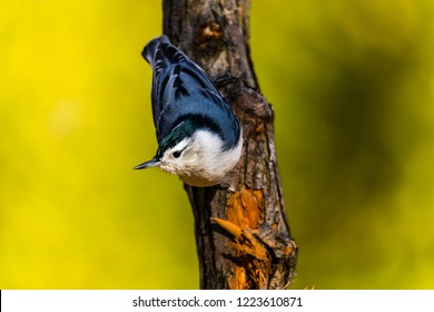 White breasted nuthatch, perched in a boreal forest in autumn, Quebec, Canada.