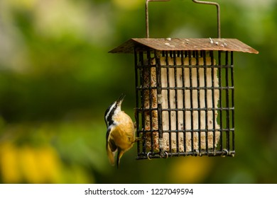 A white breasted nuthatch perched on a suet feeder