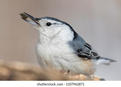 white breasted nuthatch with seed portrait
