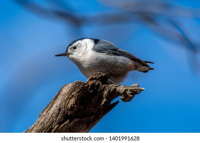 A white breasted nuthatch (Sitta carolinensis) perched on a branch.