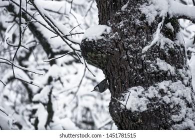 White Breasted Nuthatch, a tiny bird on a snowy oak tree - Sierra Nevada
