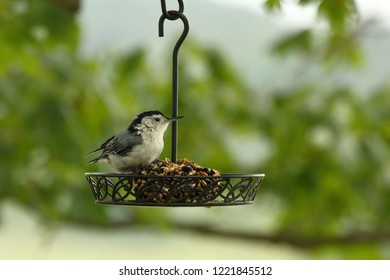 A White Breasted Nuthatch visits my feeder in the Maple Tree.