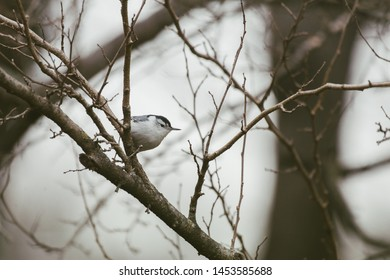 white breasted nuthatch in winter cold perched