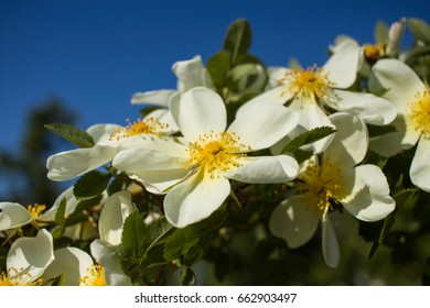 White briar flowers in spring