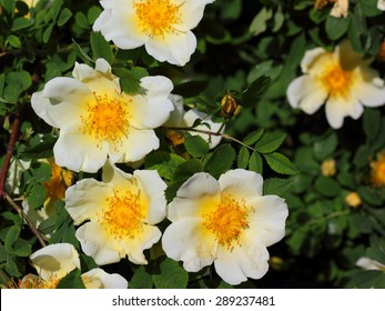 White flower yellow center images stock photos vectors shutterstock the white brier flowers with the bright yellow center mightylinksfo Images