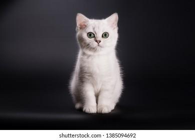 White british kitten on black background