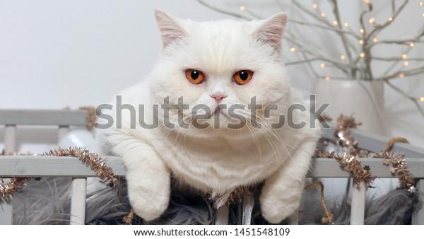 white-british-shorthair-cat-orange-600w-