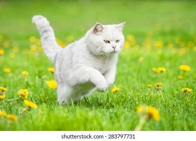 White british shorthair cat running outdoors