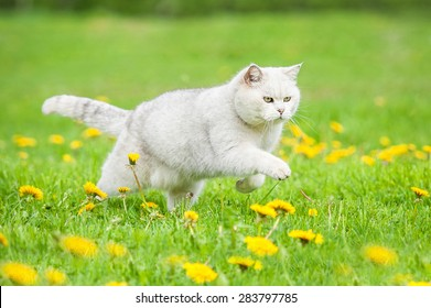 White british shorthair cat running on the field with dandelions