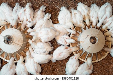 White broiler Chicken at the poultry farm