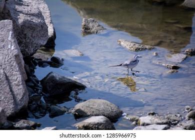 White Browed Wagtail Bird on Lake water stone