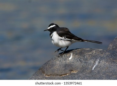 White Browed Wagtail or Large Pied Wagtail near river.