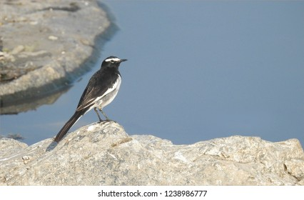White- Browed Wagtail seating on a rock near the river