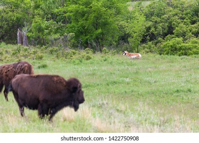 A white and brown antelope sneaks along the edge of the tree line as large bison stand in the foreground and watch.