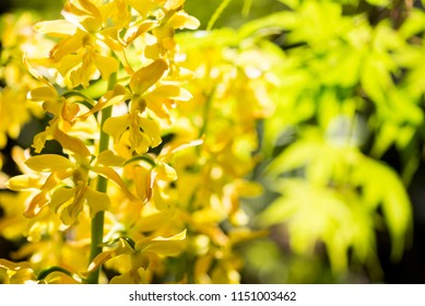 White and brown calanthe flowers in front of green blurred leaves