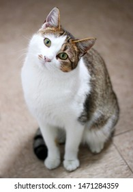 White and brown cat tilting head