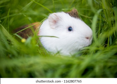 White and brown color Guinea pig playing in grass