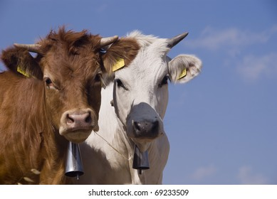 a white and a brown cow