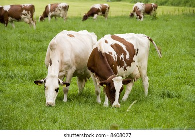 white with brown cows