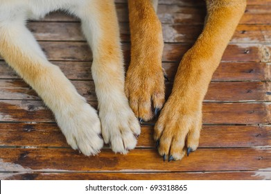 White and brown dog paws Just finished taking a shower Lying on the wet wooden floor background,trust, family, friendship.